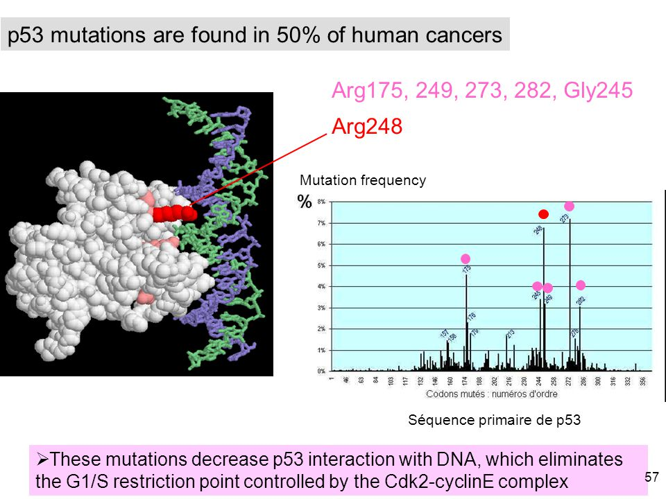 p53 mutations are found in 50% of human cancers