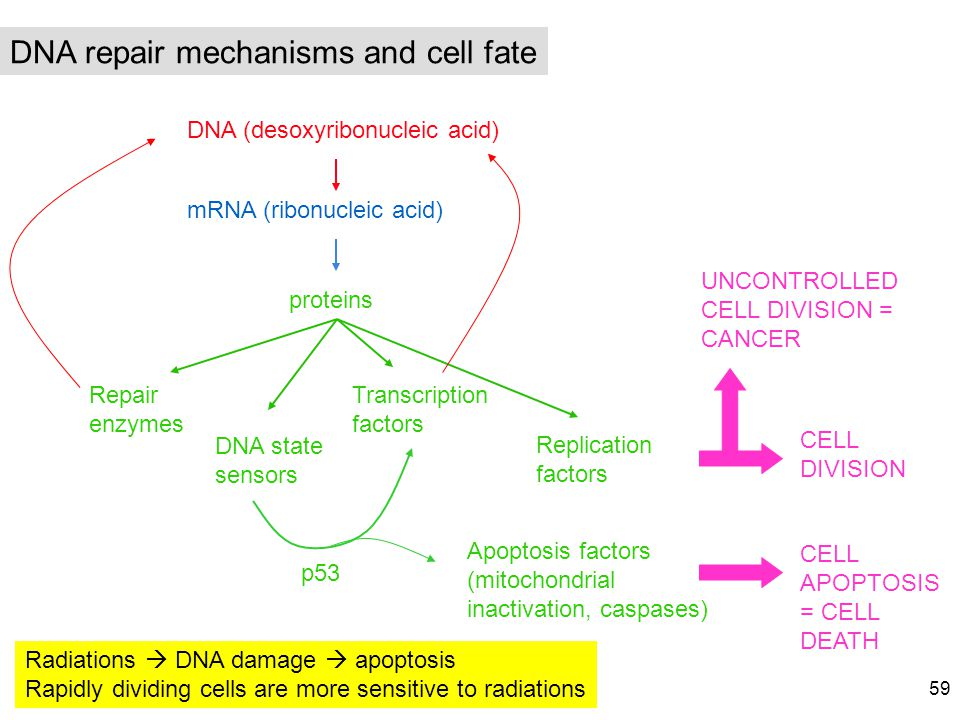 DNA repair mechanisms and cell fate