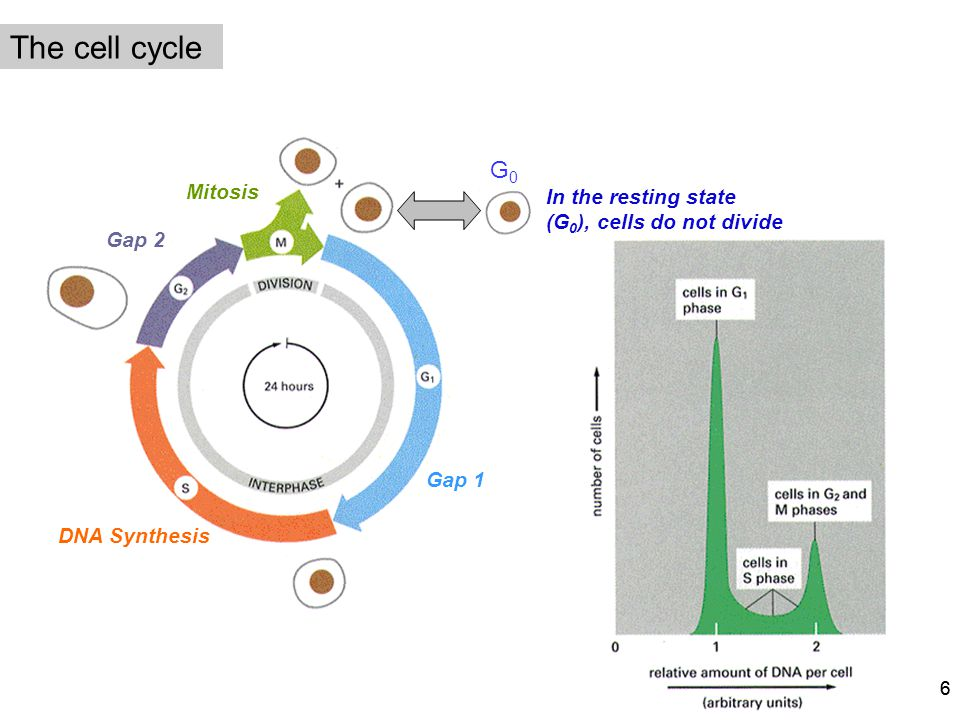 The cell cycle G0 Mitosis