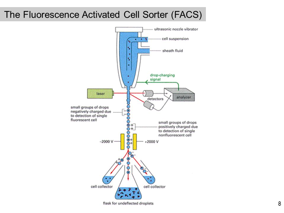 The Fluorescence Activated Cell Sorter (FACS)