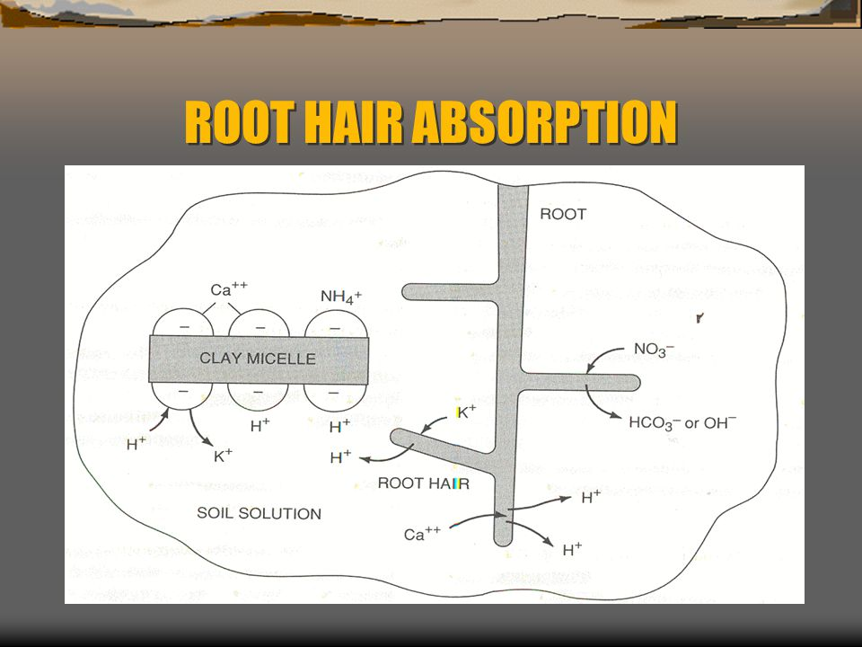 ROOT HAIR ABSORPTION