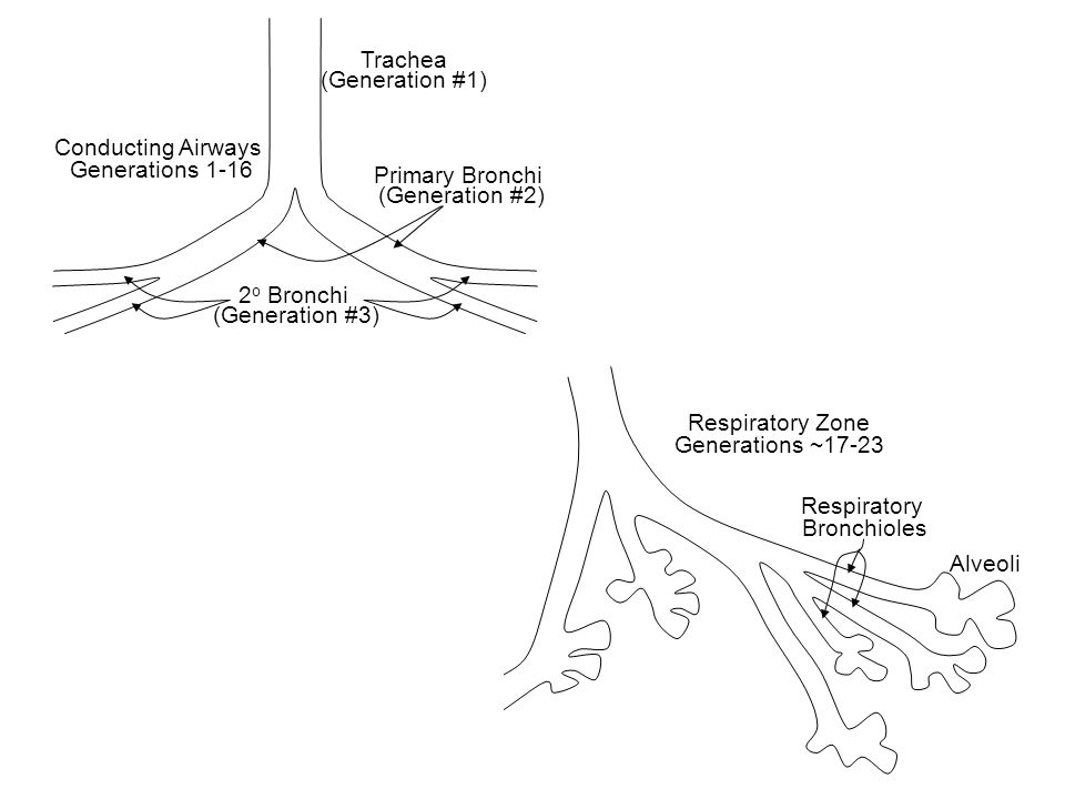 Trachea (Generation #1) Primary Bronchi. (Generation #2) Conducting Airways. Generations 1-16. 2o Bronchi.