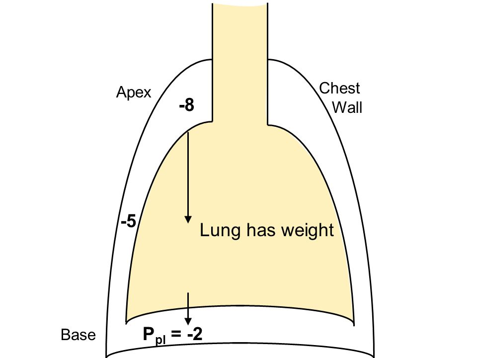 Chest Wall Apex -8 -5 Lung has weight Base Ppl = -2