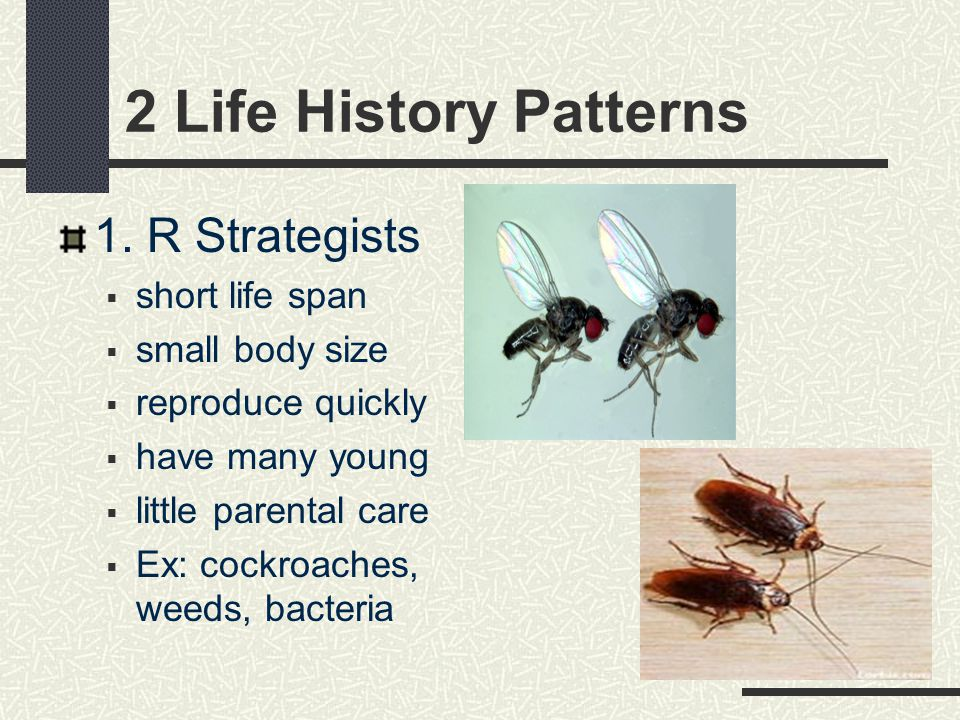 2 Life History Patterns 1. R Strategists short life span