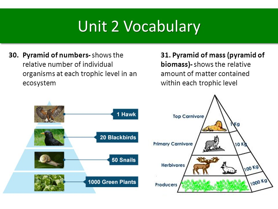 Unit 2 Vocabulary Pyramid of numbers- shows the relative number of individual organisms at each trophic level in an ecosystem.