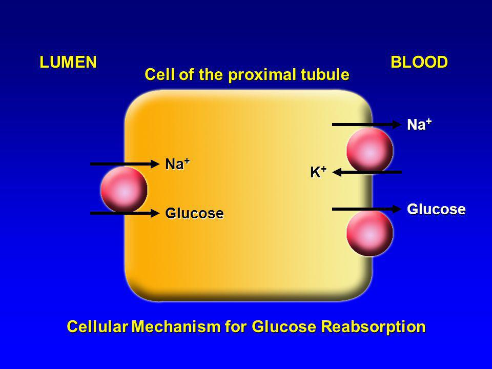 Cellular Mechanism for Glucose Reabsorption