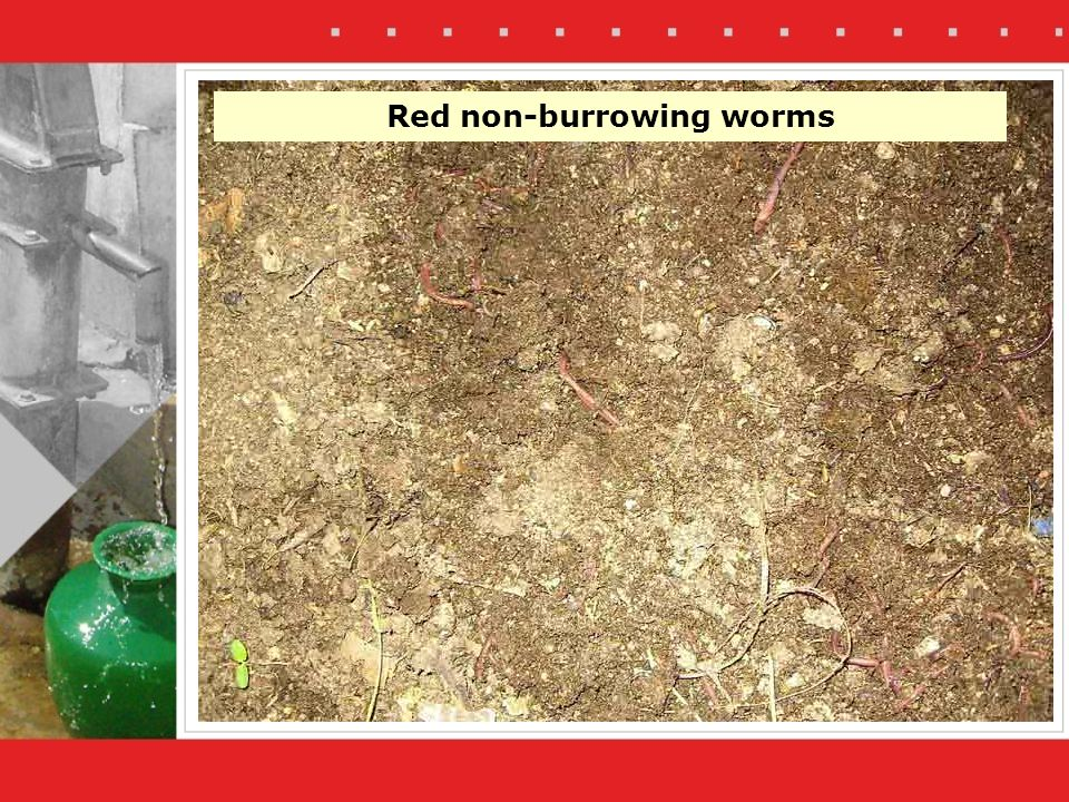 Red non-burrowing worms