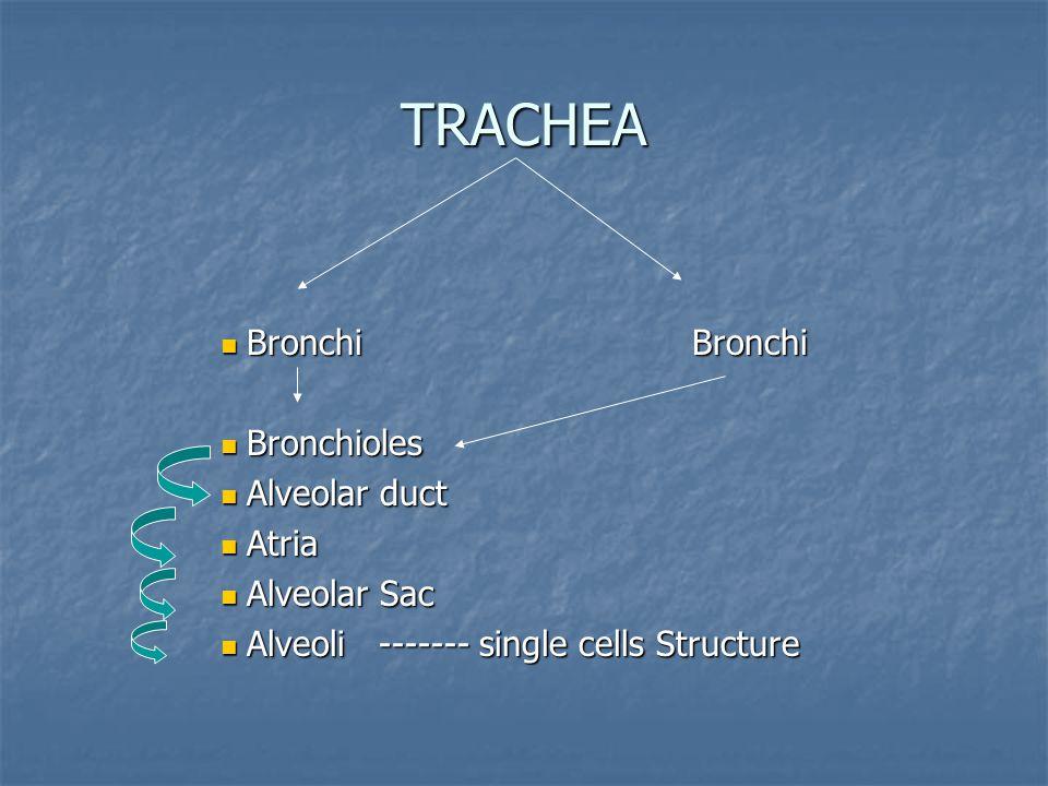 TRACHEA Bronchi Bronchi Bronchioles Alveolar duct Atria Alveolar Sac
