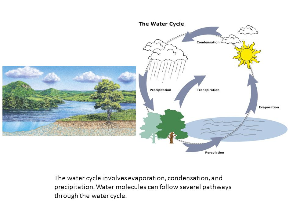 The water cycle involves evaporation, condensation, and precipitation
