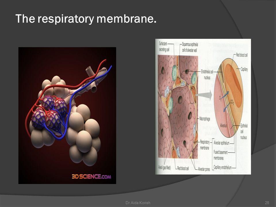 The respiratory membrane.