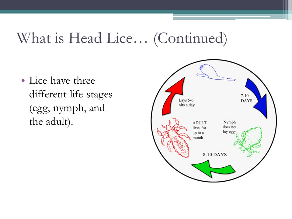What is Head Lice… (Continued)