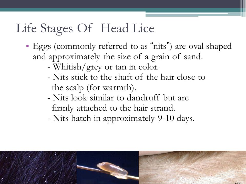 Life Stages Of Head Lice