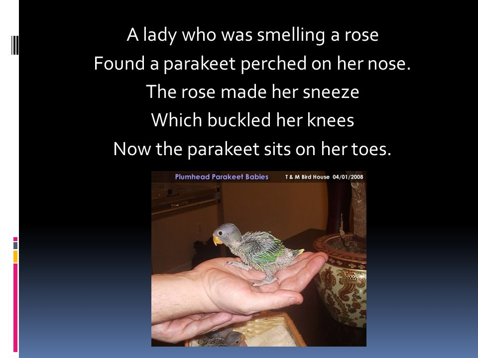 A lady who was smelling a rose Found a parakeet perched on her nose