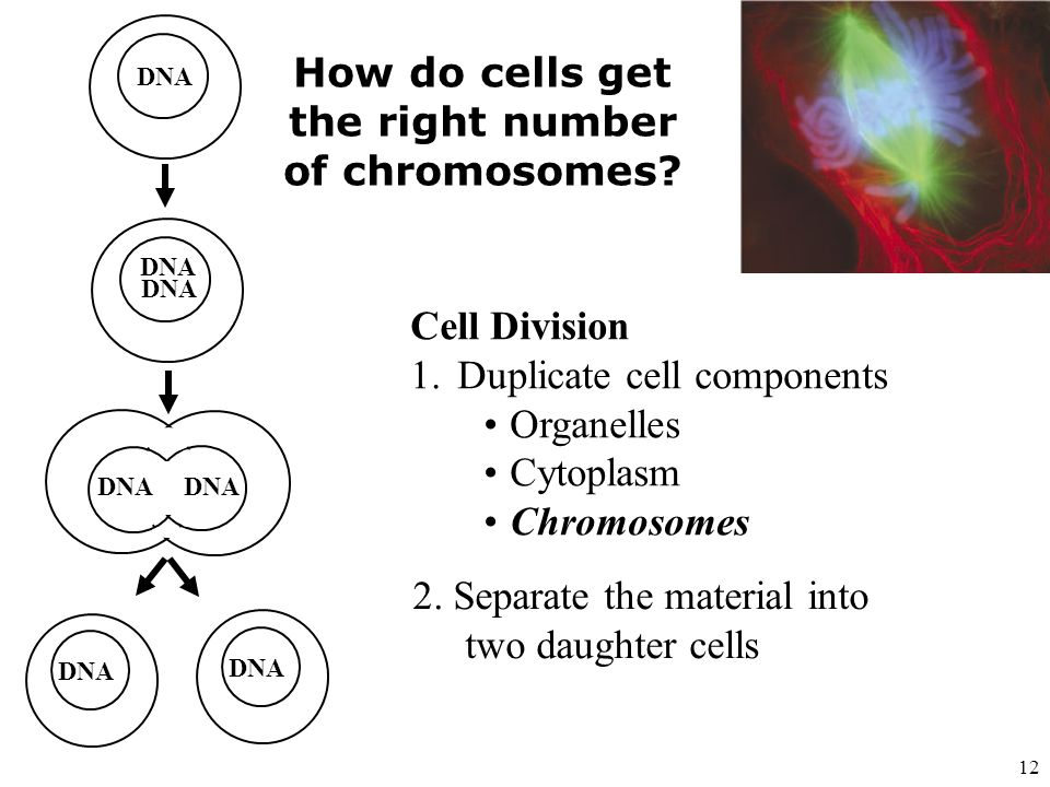 How do cells get the right number of chromosomes