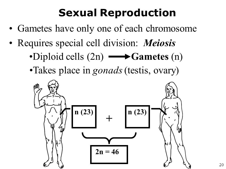 + Sexual Reproduction Gametes have only one of each chromosome