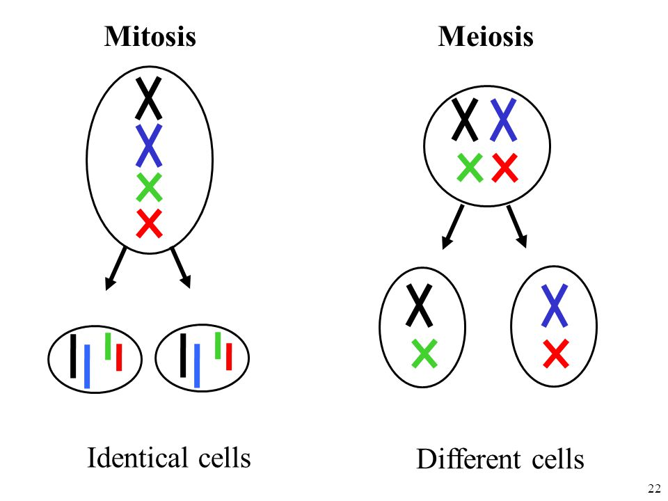 Mitosis Meiosis Different cells Identical cells