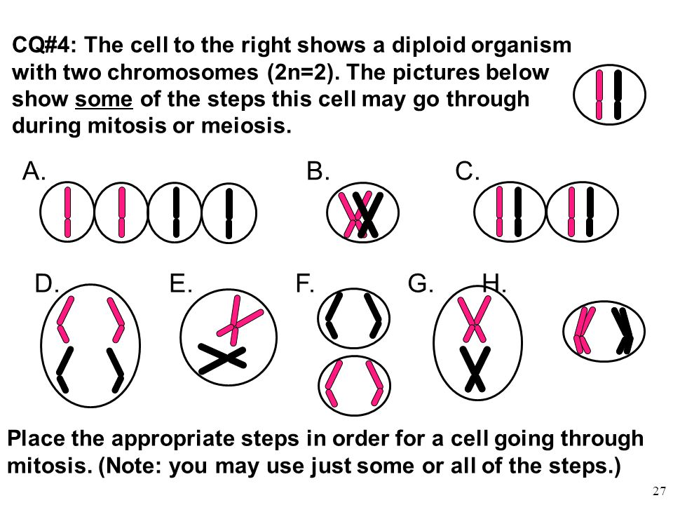 CQ#4: The cell to the right shows a diploid organism with two chromosomes (2n=2). The pictures below show some of the steps this cell may go through
