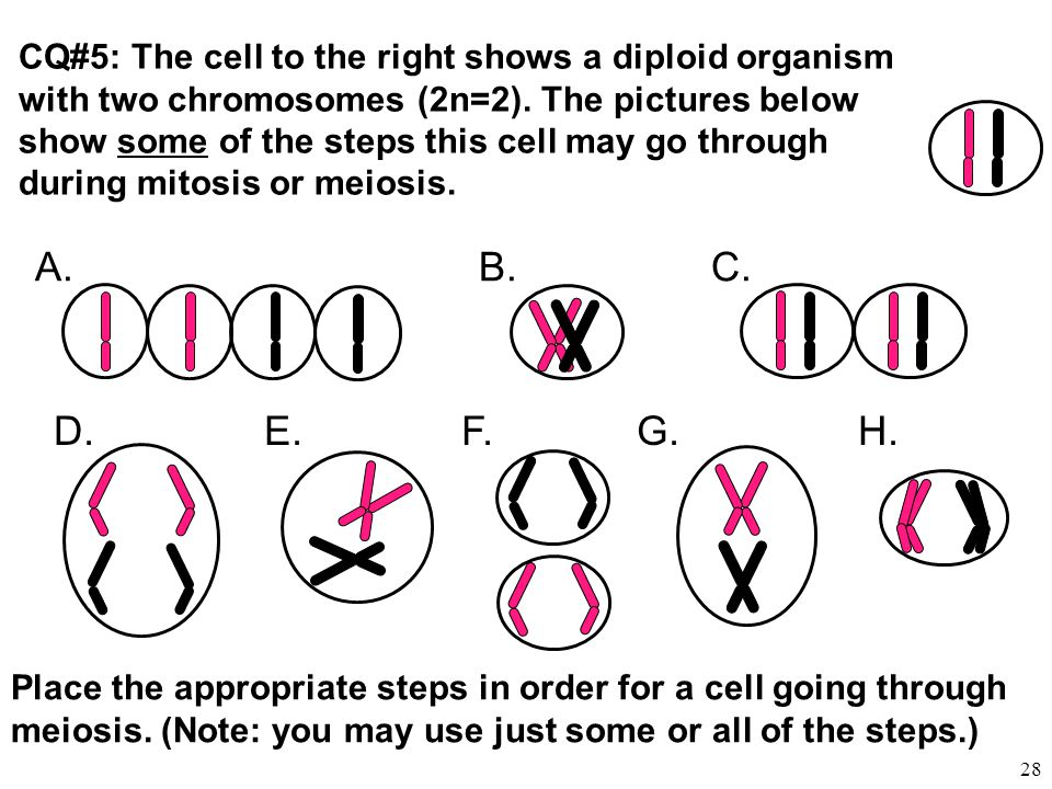 CQ#5: The cell to the right shows a diploid organism with two chromosomes (2n=2). The pictures below show some of the steps this cell may go through