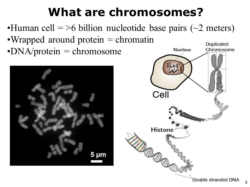 What are chromosomes Human cell = >6 billion nucleotide base pairs (~2 meters) Wrapped around protein = chromatin.