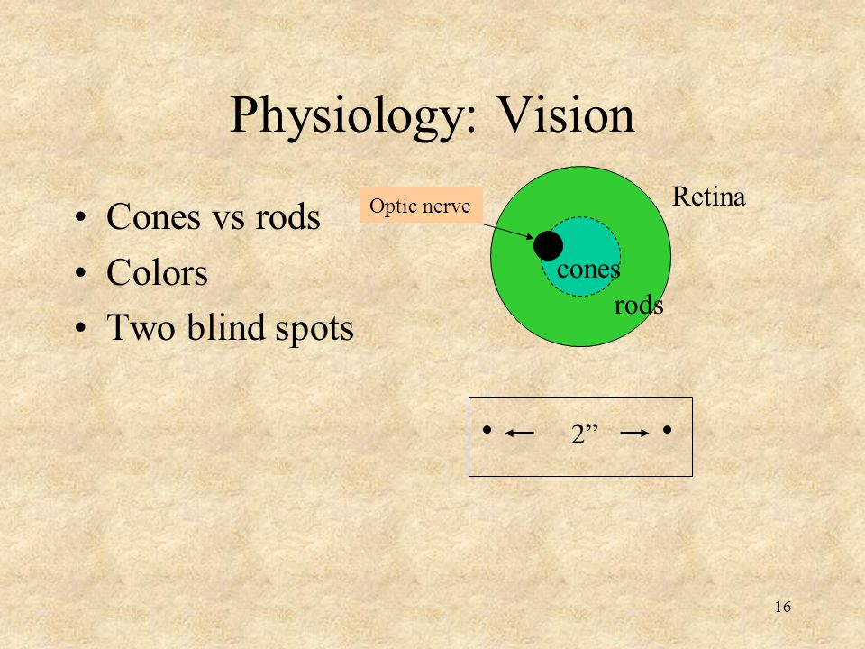 Physiology: Vision Cones vs rods Colors Two blind spots Retina cones