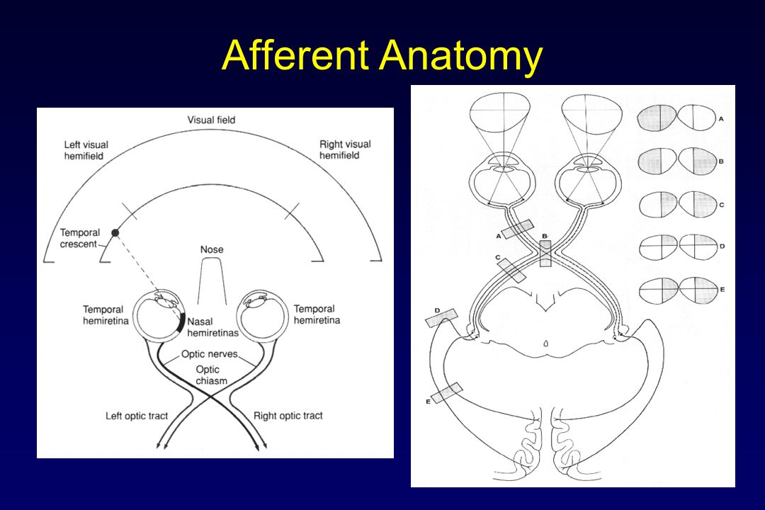 Afferent Anatomy