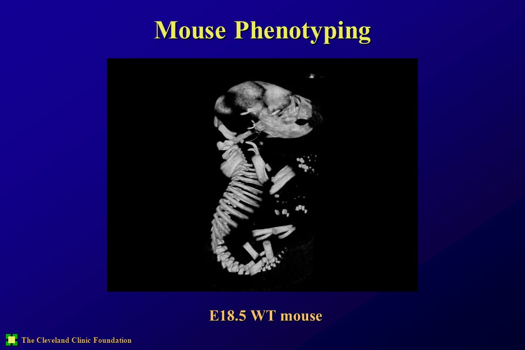 Mouse Phenotyping E18.5 WT mouse
