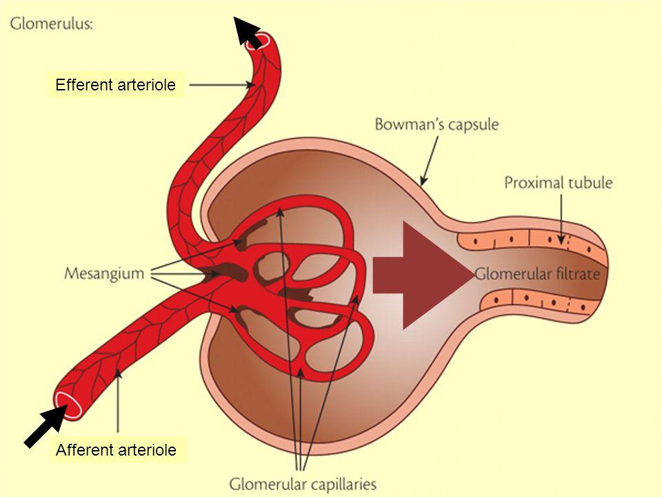 Efferent arteriole Afferent arteriole