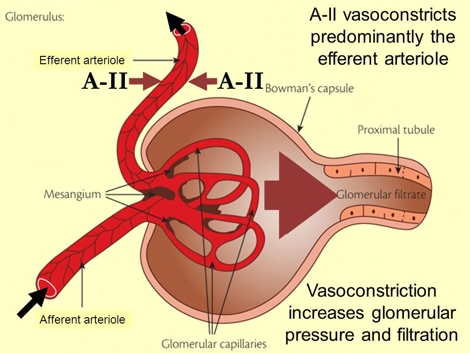 A-II A-II vasoconstricts predominantly the efferent arteriole
