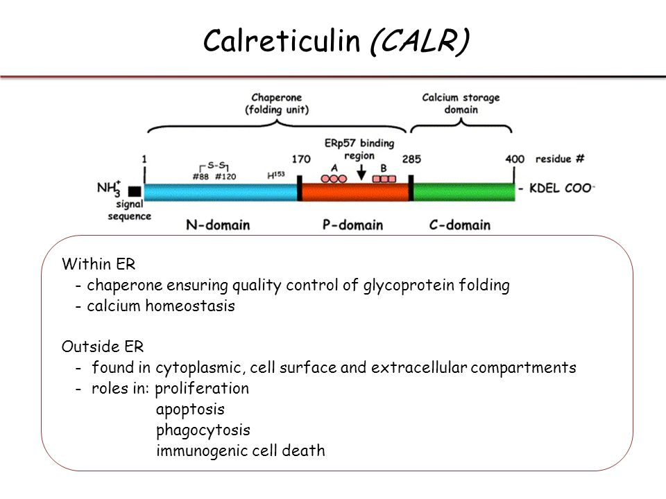 Calreticulin (CALR) Within ER