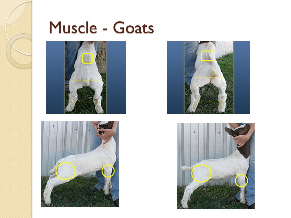 Muscle - Goats
