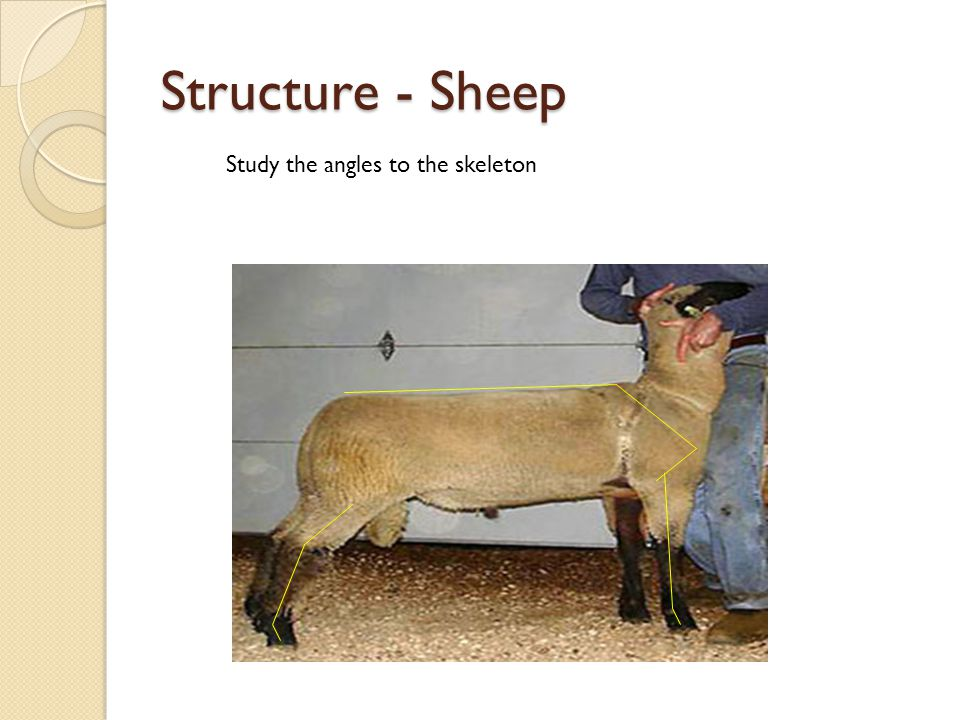 Structure - Sheep Study the angles to the skeleton