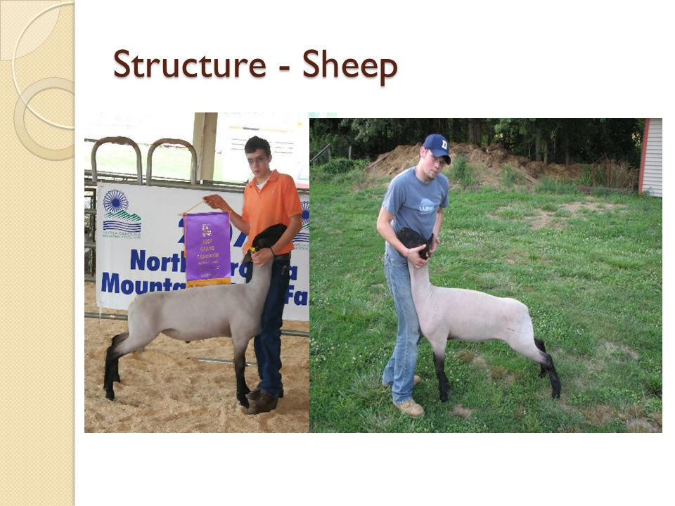 Structure - Sheep