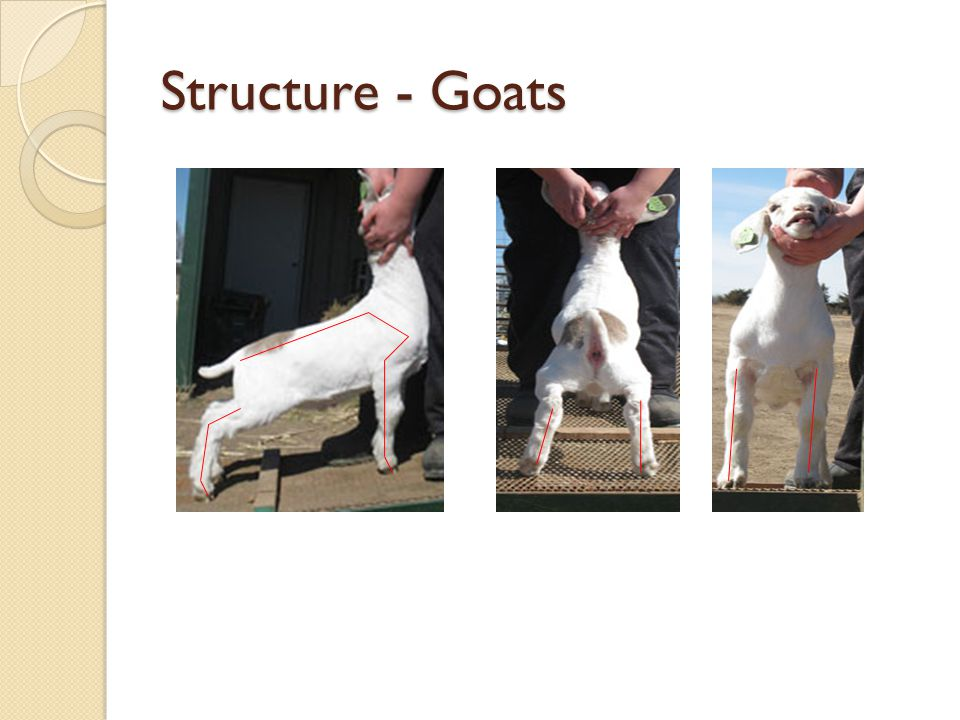 Structure - Goats