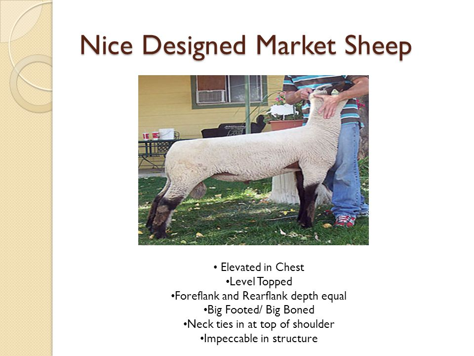 Nice Designed Market Sheep