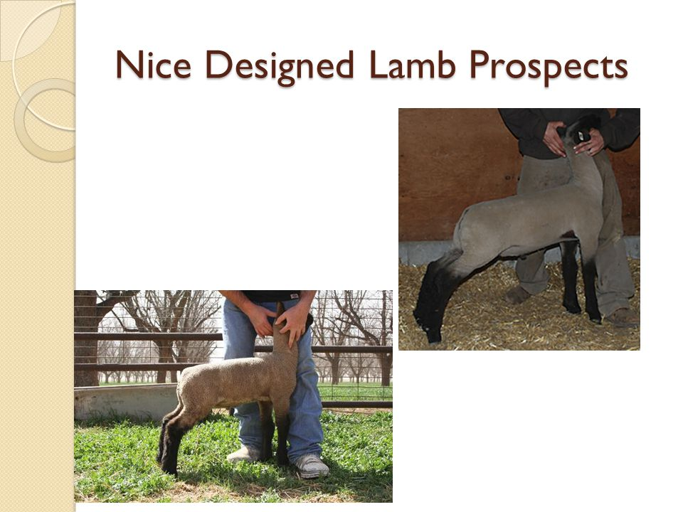 Nice Designed Lamb Prospects