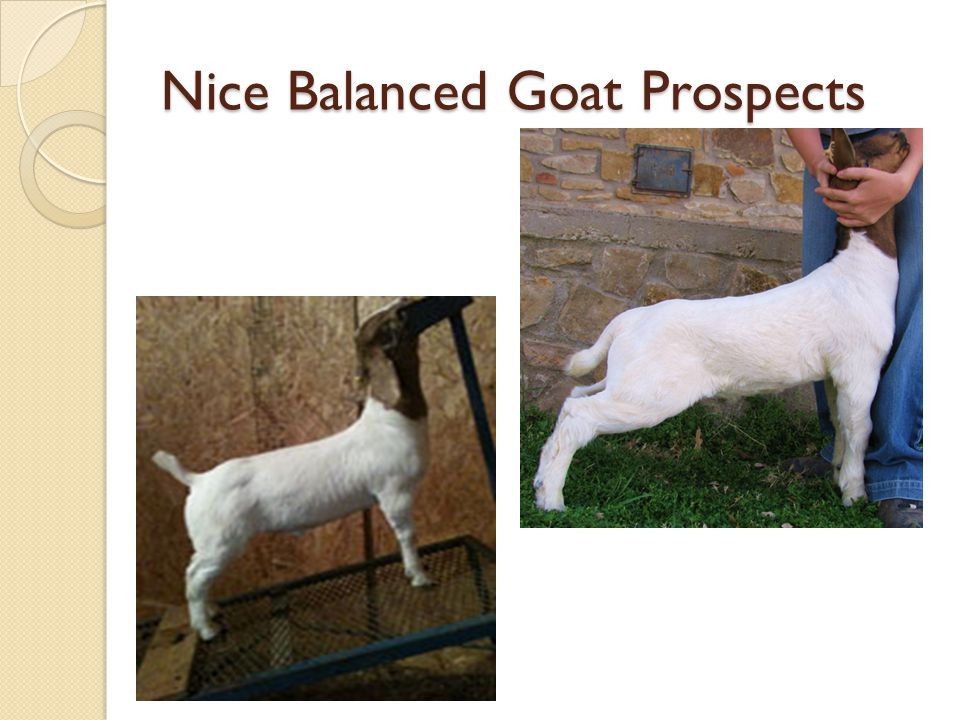 Nice Balanced Goat Prospects