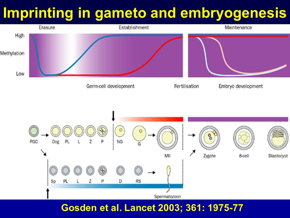 Imprinting in gameto and embryogenesis