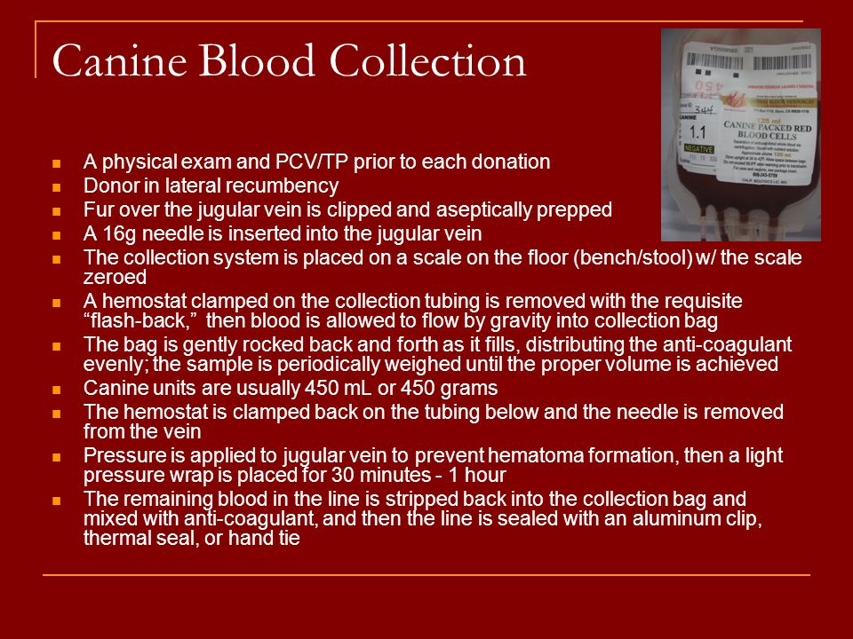 Canine Blood Collection