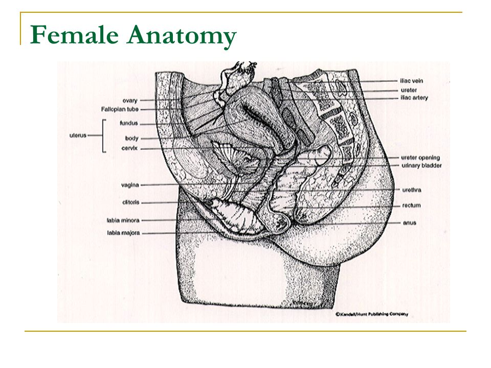 Female Anatomy Labia majora & minora: protect the vulva, urethral opening, and vagina.