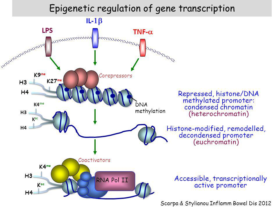 Epigenetic regulation of gene transcription