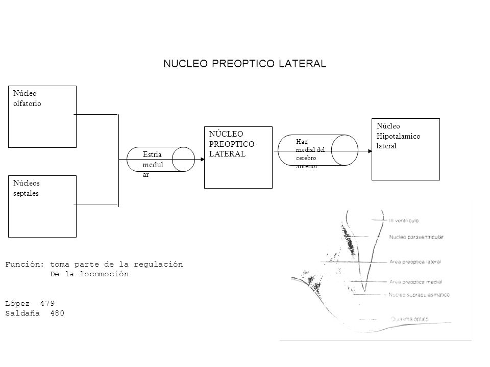 NUCLEO PREOPTICO LATERAL