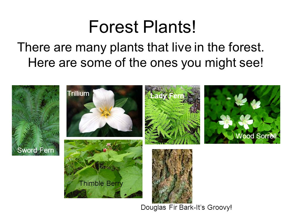Forest Plants! There are many plants that live in the forest. Here are some of the ones you might see!