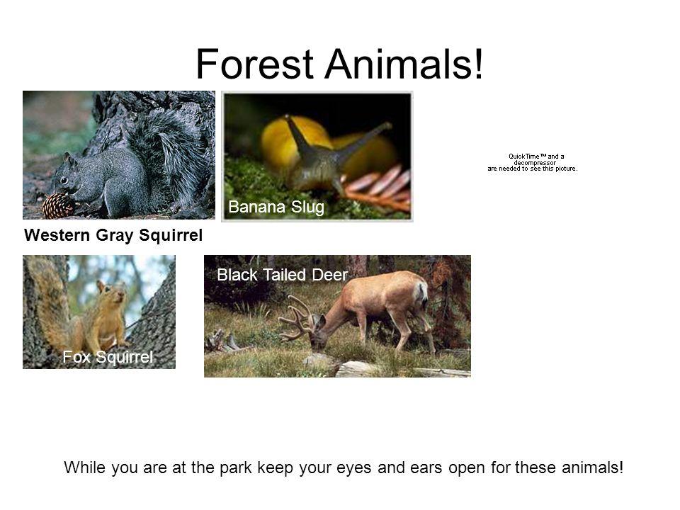 Forest Animals! Banana Slug Rough Skinned Newt Western Gray Squirrel