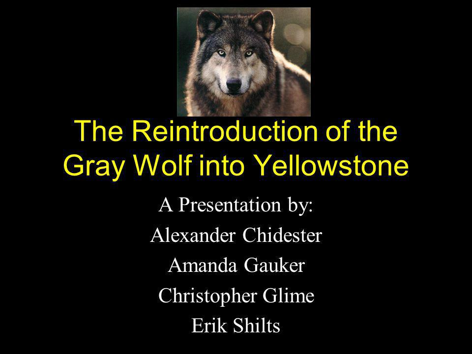 The Reintroduction of the Gray Wolf into Yellowstone