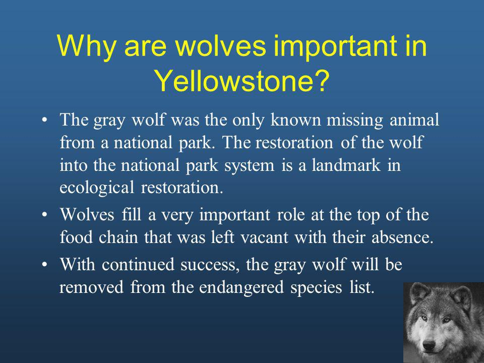 Why are wolves important in Yellowstone