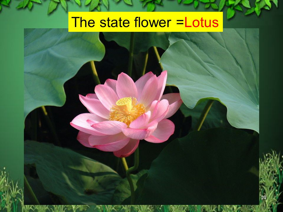 The state flower =Lotus
