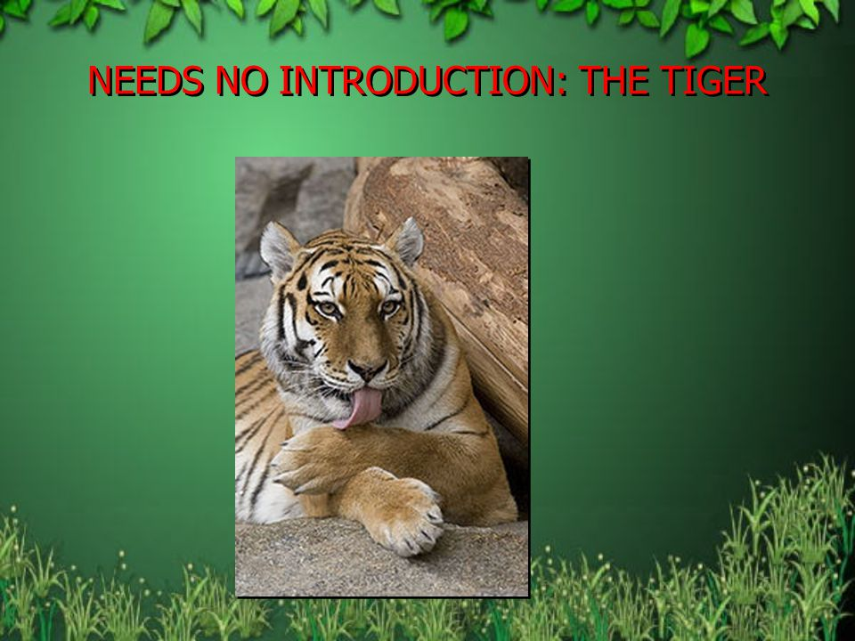 NEEDS NO INTRODUCTION: THE TIGER