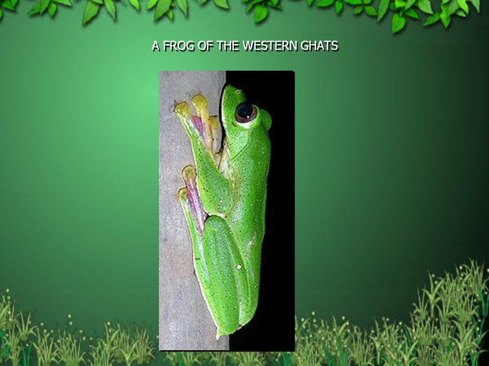 A FROG OF THE WESTERN GHATS