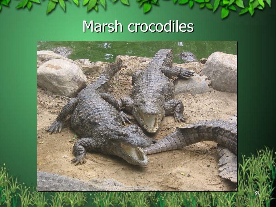 Marsh crocodiles