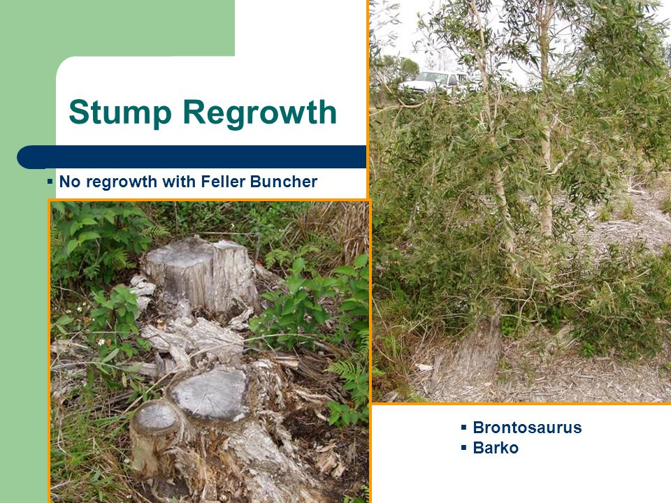 Stump Regrowth No regrowth with Feller Buncher Brontosaurus Barko